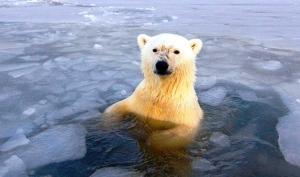 I am not a polar bear!